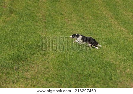 Sheep Dog Bounds Through Field - at sheep dog herding trials