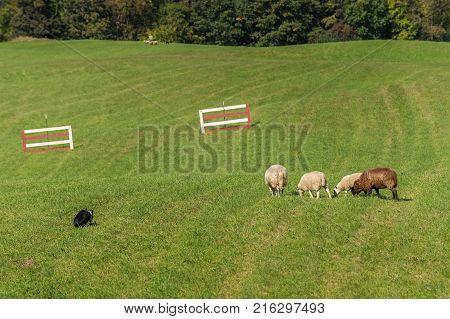 Sheep Dog Walks Up on Sheep (Ovis aries) - at sheep dog herding trials