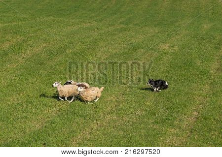 Sheep Dog Herds Sheep (Ovis aries) Across Field - at sheep dog herding trials