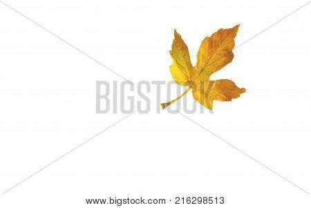 Season change with yellow american sweetgum leaf on white background