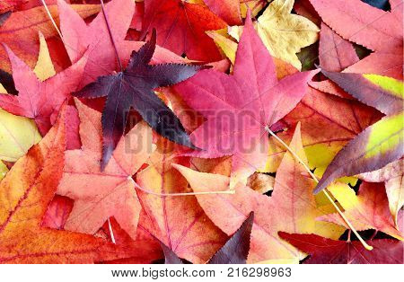 Colorful of leaf in Autumn season with full frame