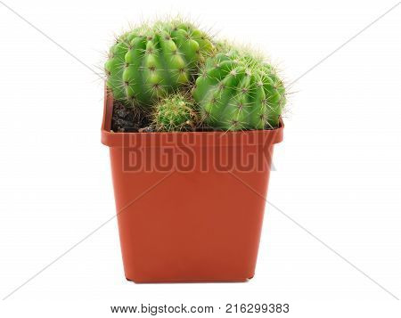 In a brown flowerpot grow two adult cactus and one appendage. Isolated on white background. Side view.