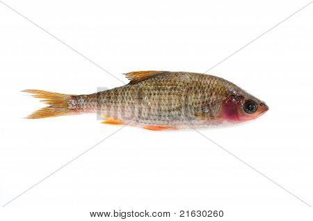 Sick Roach Fish (Rutilus Rutilus)