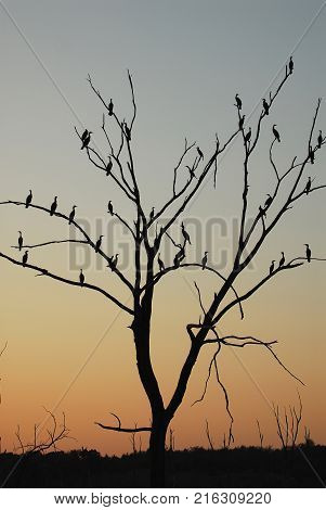 A large group of cormorants have taken roost in an old dead tree.
