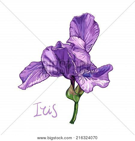 Purple flowers images illustrations vectors purple flowers purple iris flower on a white background hand drawn sketch template design element pronofoot35fo Choice Image