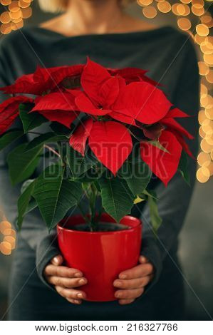 Girl holding Christmas Star flower. Christmas holiday concept. Holiday background