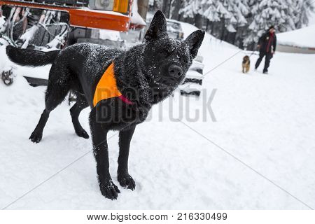 Rescue dog from Mountain rescue service organization participates in a training for finding people buried in an avalanche. Both men and animals are trained before going on duty.