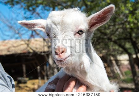 Goat look at camera. White goat in the farm. Happy life.