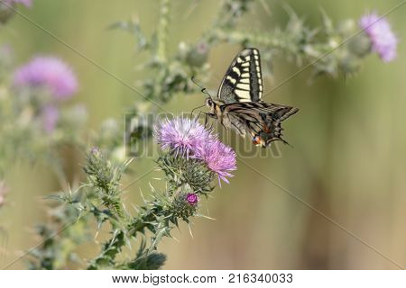 butterfly Papilio machaon, cirsium sylibum. Common yellow swallowtail sues nectar from a thistle.