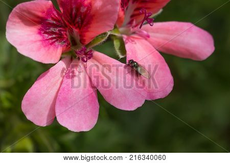 insect, small black fly or large midge on geranium petal