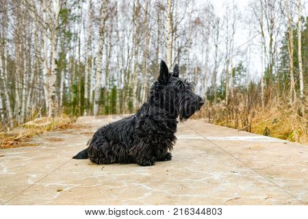 fun black Scotch Terrier jumping in the grass