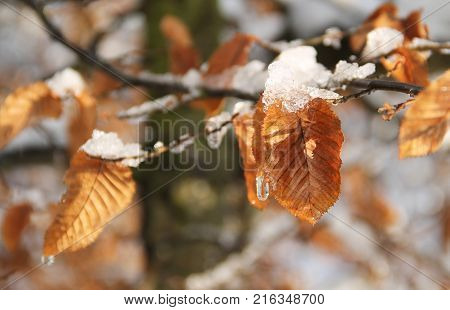 branch of a beech tree with sear leaves and pieces of snow in winter