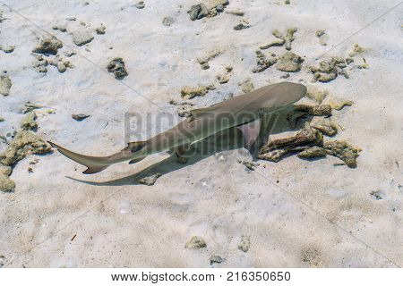 Small reef shark swims in transparent water of Indian ocean. Reef shark in shallow water.