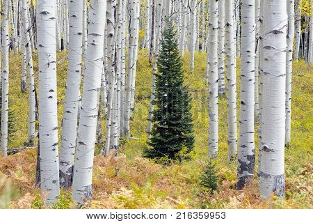 Conifer trees in the middle of Aspen trees in Kebler Pass Colorado United States of America in the Autumn Fall