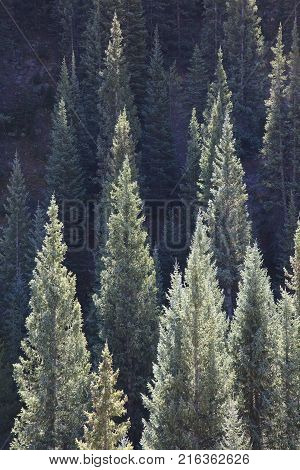 Sunlit conifers in Kebler Pass near Crested Butte Colorado America in the morning sun