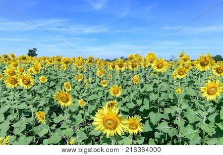 Beautiful Sunflower Fields With Cloudy And Blue Sky