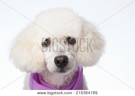 Curious white poodle dog portrait close up isolated