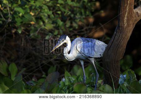Cocoi Heron at Rio Claro. Pantanal Brazil