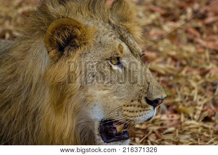 Asiatic Lion in a national park in India.