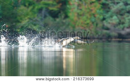 Common loon skimming the water in north Quebec Canada.