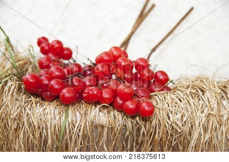 Branches of a ripe guelder-rose against the background of a dry grass