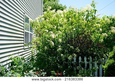 Elderberry bushes (Sambucus ) blossom in a garden next to a white picket fence in Joliet, Illinois, during June.