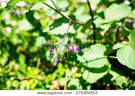 Flowers of the bittersweet nightshade plant (Solanum dulcamara) bloom in Joliet, Illinois during June.