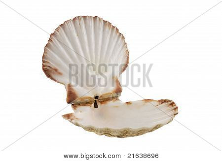 Opened Empty Scallop Shell
