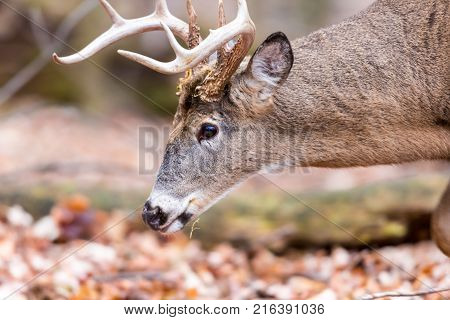 White tail buck deer in a boreal forest in late autumn, Quebec Canada.