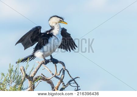 The Little Pied Cormorant Little Shag or Kawaupaka (Microcarbo melanoleucos) is a common Australasian waterbird found around the coasts islands estuaries and inland waters of Australia (where this example was photographed), New Guinea, New Zealand and Mal