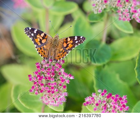 Painted Lady Butterfly shot in an unusually hot September in Montreal Canada while on its migration south to Mexico. The Butterfly is shown feeding on sedum plant growing wild in Montreal.