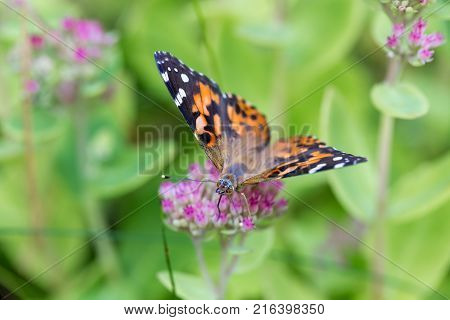 Painted Lady Butterfly shot in an unusually hot September in Montreal Canada while on its migration south to Mexico. The Butterfly is shown feeding on sedum plant