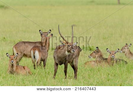 Male Waterbuck with his harem (scientific name: Kobus ellipsiprymnus, or