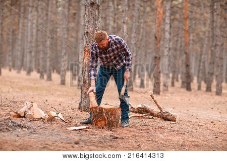 A woodcutter with red hair and a thick beard chops firewood with an ax in a pine forest. Outdoors.