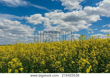 Yellow oil rape seeds in bloom. Field of rapeseed - plant for green energy