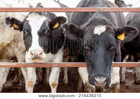 Herd Of Cows Standing In Cowshed
