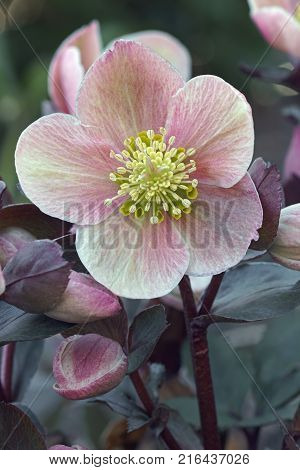 Lenten rose (Helleborus x hybridus). Close up image of flower