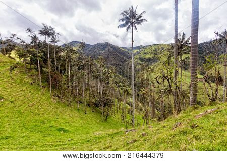 A dead wax palm decomposing in pasture land in Tolima Colombia.