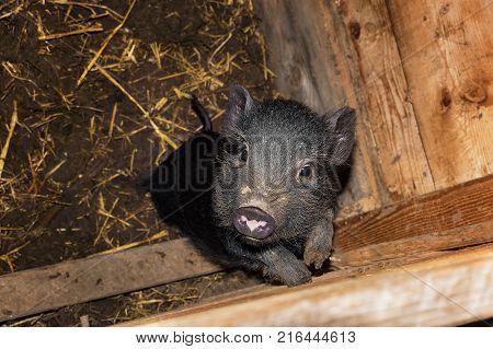 Cute black mini pig in wooden barn