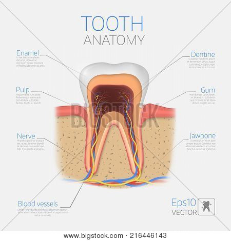 Vector tooth structure. Cross Section Anatomy with all parts. Medical infogtaphic template.