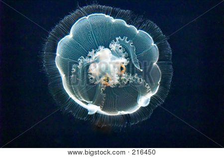 Moon Jellyfish (aurelia Aurita)
