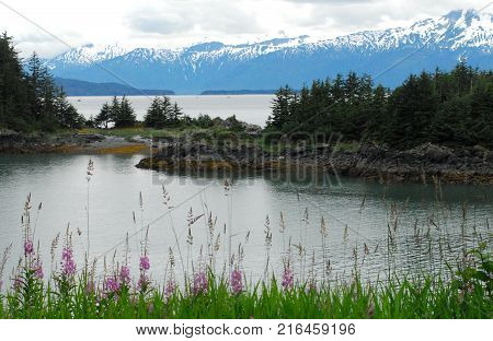 A beautiful panoramic image of snow covered mountains with bays near Juneau, Alaska.  Note the iconic Fireweed in the foreground.