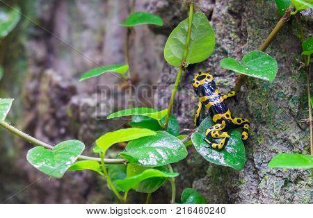 Yellow-banded Poison Dart Frog (dendrobates Leucomelas) At Tropical Forest Pavilion