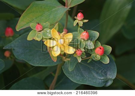 Flower and fruits of Magical Desire St John's wort (Hypericum x Magical Desire)