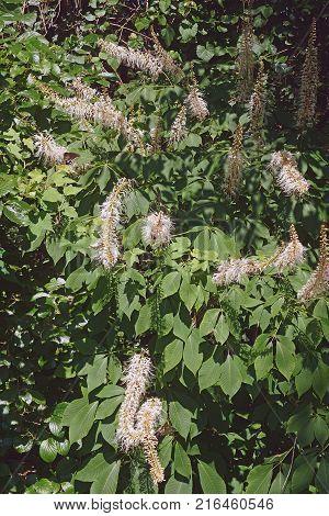 Rogers bottlebrush buckeye (Aesculus parviflora var. serotina Rogers)