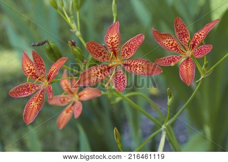 Blackberry lily (Iris domestica). Called Leopard lily and Leopard flower also. Synonym: Belamcanda chinensis