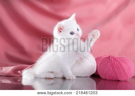 Kitten Scottish Breed
