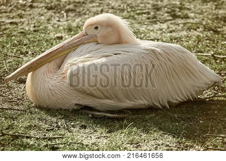 Great White Pelican (Pelecanus Onocrotalus) Resting on the Ground