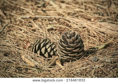 Strobiles among the Needles of a Conifer