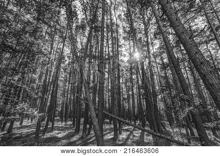 pine forest - sun breaking through - hdr - bw